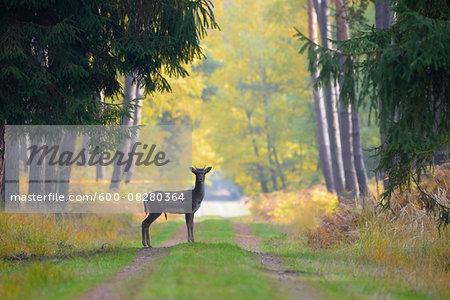 Male Fallow Deer (Cervus dama) on Dirt Road in Autumn, Hesse, Germany