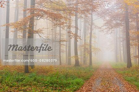 Path through Misty European Beech (Fagus sylvatica) Forest in Autumn, Spessart, Bavaria, Germany