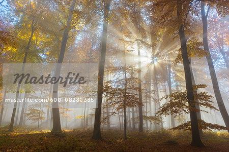 Sunbeams in European Beech (Fagus sylvatica) Forest in Autumn, Spessart, Bavaria, Germany