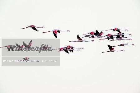 Greater Flamingos (Phoenicopterus roseus) in Flight, Saintes-Maries-de-la-Mer, Parc Naturel Regional de Camargue, Languedoc-Roussillon, France