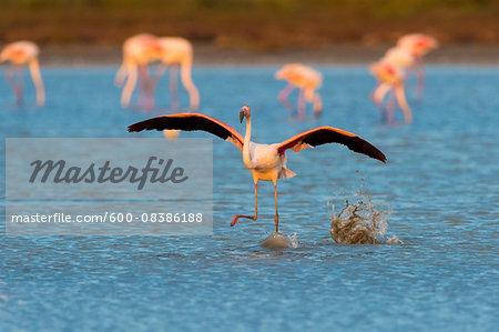 Greater Flamingo (Phoenicopterus roseus) Taking off, Saintes-Maries-de-la-Mer, Parc Naturel Regional de Camargue, Languedoc-Roussillon, France