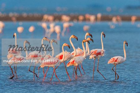 Group of Greater Flamingos (Phoenicopterus roseus) Wading in Water, Saintes-Maries-de-la-Mer, Parc naturel regional de Camargue, Languedoc Roussillon, France