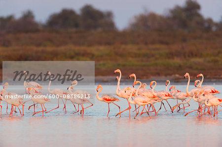 Greater Flamingos (Phoenicopterus roseus) at Dusk, Saintes-Maries-de-la-Mer, Parc Naturel Regional de Camargue, Languedoc-Roussillon, France