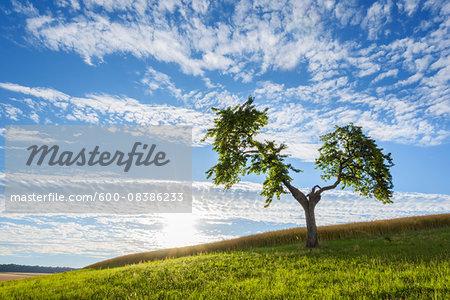 Lone Tree in Meadow with Sun in Summer, Reichartshausen, Miltenberg District, Bavaria, Germany