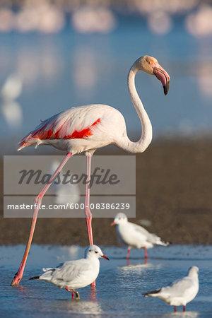 Greater Flamingo (Phoenicopterus roseus) and Black-headed Gulls (Chroicocephalus ridibundus), Saintes-Maries-de-la-Mer, Parc Naturel Regional de Camargue, Languedoc-Roussillon, France