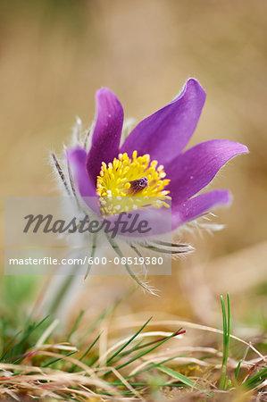 Close-up of Common Pasque Flower (Pulsatilla vulgaris) Blossom in Spring, Bavaria, Germany