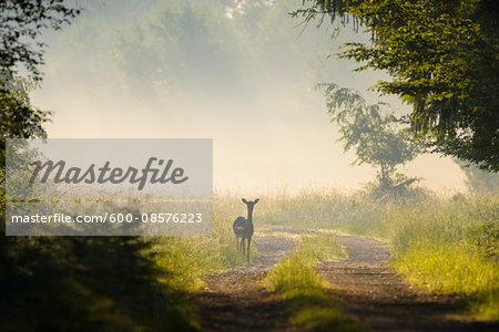Female Fallow Deer (Cervus dama) in Summer, Hesse, Germany