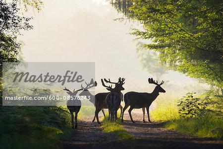 Silhouette of Herd of Male Fallow Deers (Cervus dama) in Misty Forest, Hesse, Germany
