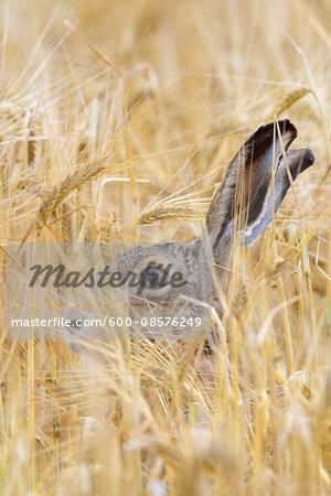 European Brown Hare (Lepus europaeus) in Grain Field, Hesse, Germany,
