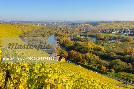 River Landscape with Colorful Vineyards in Autumn, Volkach, Nordheim, Alte Mainschleife, Mainfranken, Franconia, Bavaria, Germany