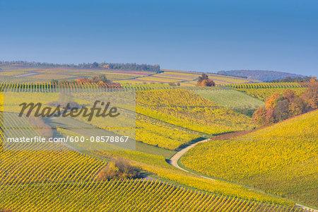 Colorful Vineyards in Autumn, Volkach, Alte Mainschleife, Mainfranken, Franconia, Bavaria, Germany