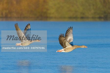 Greylag Geese (Anser anser) Flying over Lake, Hesse, Germany