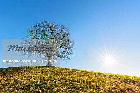 Old Oak Tree in Winter, Odenwald, Hesse, Germany