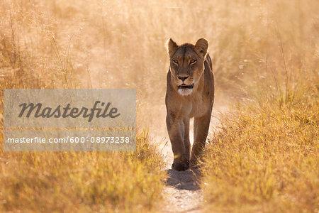 African lioness (Panthera leo) walking through the grassland at the Okavango Delta in Botswana, Africa