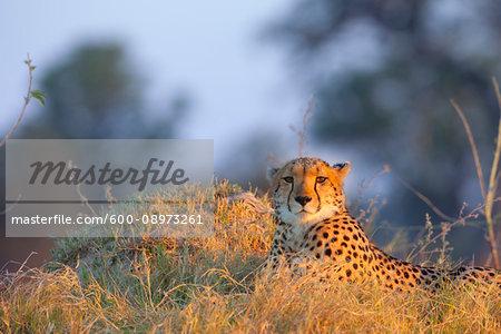 Portrait of a cheetah (Acinonyx jubatus) lying in the grass at the Okavango Delta in Botswana, Africa