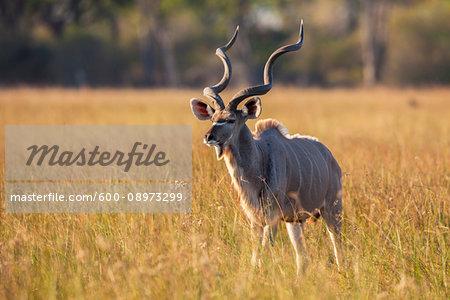 Greater Kudu (Tragelaphus strepsiceros) standing in the grass on the Okavango Delta in Botswana, Africa