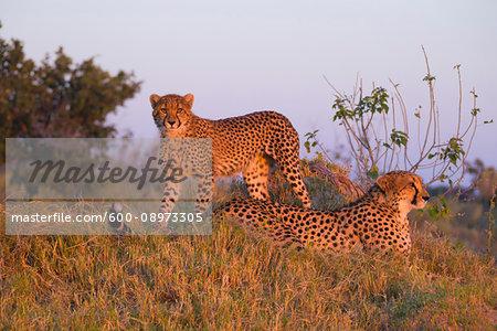 Cheetahs (Acinonyx jubatus), mother and young in the grass at sunrise at the Okavango Delta, Botswana, Africa