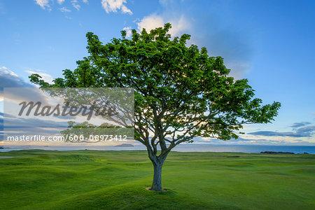 Maple tree on golf course on the coast at North Berwick in Scotland, United Kingdom