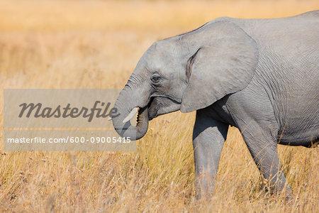 Close-up of an African elephant (Loxodonta africana) walking through grasslands at the Okavango Delta in Botswana, Africa