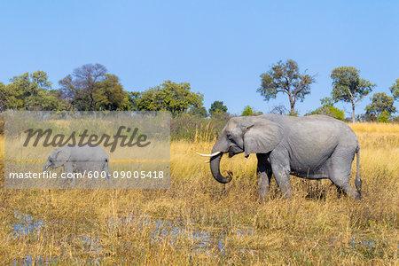 Adult African bush elephant (Loxodonta africana) and calf walking through grasslands at the Okavango Delta in Botswana, Africa