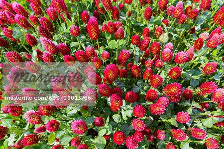 Close-up of crimson clover (Trifolium incarnatum) growing in a field in Burgenland, Austria
