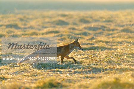 Backlit red fox (Vulpes vulpes) walking on a mowed meadow at sunrise in Hesse, Germany