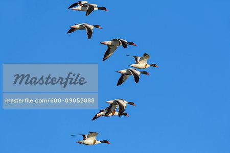 Flock of common shelducks (Tadorna tadorna) in flight against blue sky at Lake Neusiedl in Burgenland, Austria