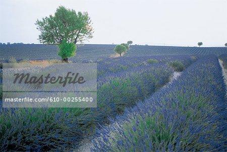 France, Lavender fields in Aix-en-Provence