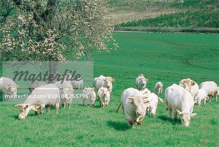 France, Burgundy, Flock of cows