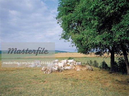 France, Burgundy, Flock of cows near Mercurey
