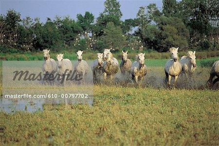 France, Provence, Camargue, valloping horses