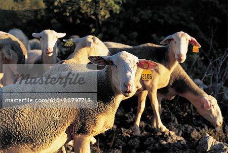 France, Aveyron, Les Rives, ewes
