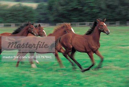 France, Normandy, Maheru, haras de la Louvriere, horses