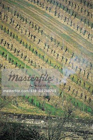 France, Centre, Chinon, grape harvest