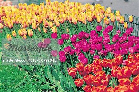 Norway, Oslo, tulips