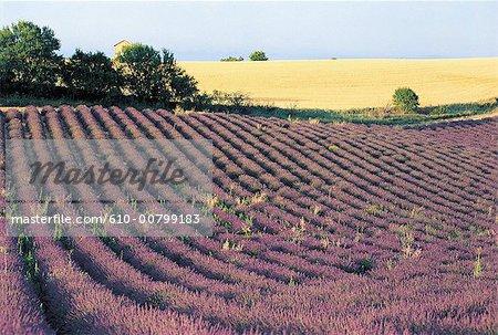 France, Alps, Valensole, field of lavander