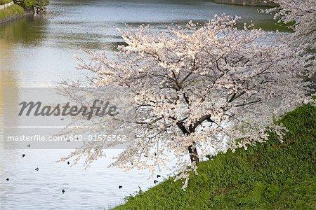 Japan, Tokyo, Chiyoda-Ku quarter, Kitanomaru Park, sherry blossoms