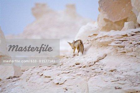 Egypt, Libyan desert, the white desert, animal