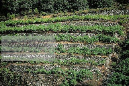 Cyprus, Troodos Mountains, Solea Valley, terrace vineyards