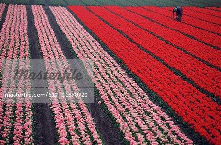 The Netherlands, South Holland, Keukenhof, field of tulips