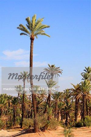 Morocco, Marrakech, palm grove