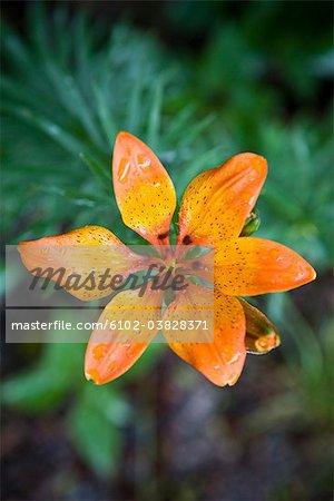 An orange-coloured lily, Sweden.