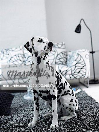 A dalmatian in a livingroom, Sweden.