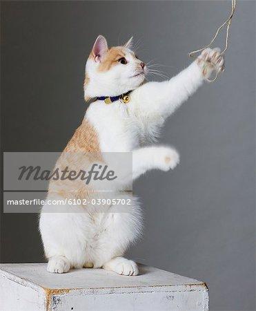 Cat reaching towards string