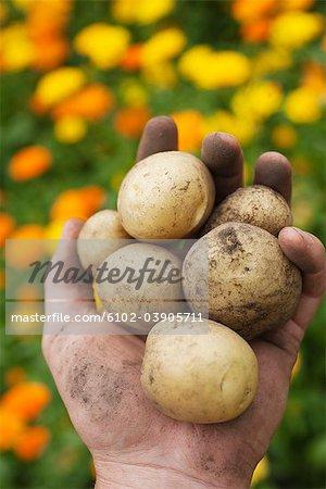 Hand holding potatoes full of earth, Sweden.