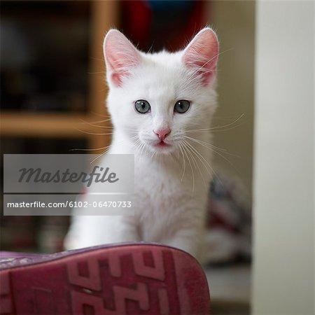 Portrait of a white kitten, Sweden.