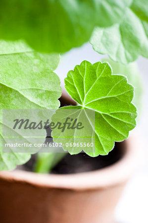 Geranium leaves