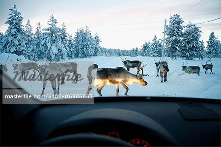 Reindeer on winter road seen through car windshield
