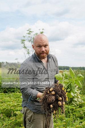 Man picking new potatoes
