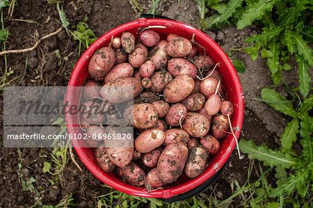 New potatoes in bucket